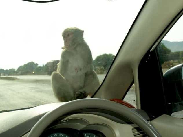 Monkey in the front of the car with a biscuit on his mouth in Rajastan