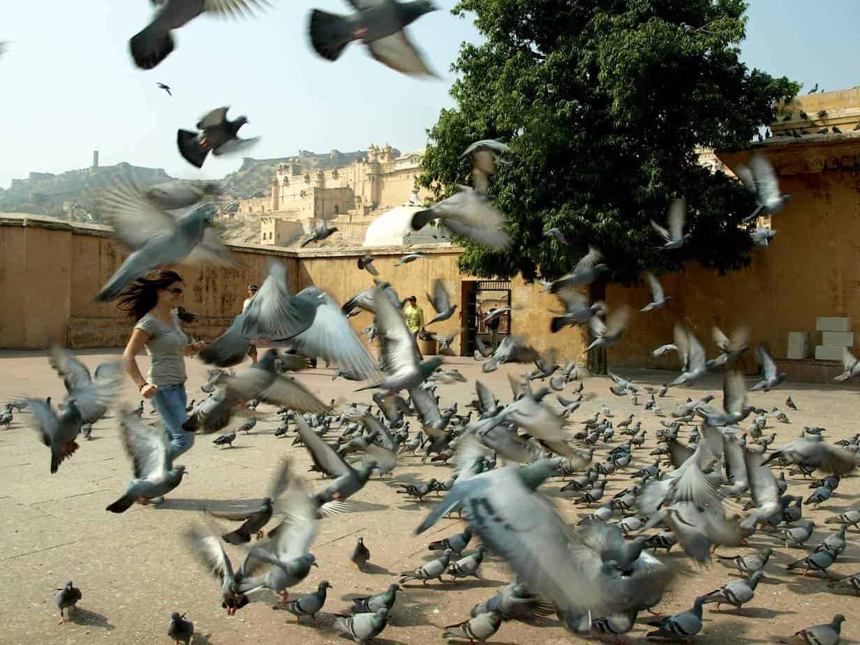 Rajasthan (Jaipur), pigeons in indian square