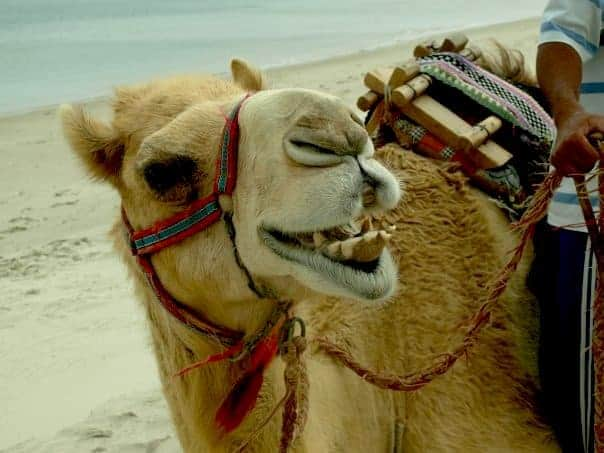 A camel in Expat Life in Qatar