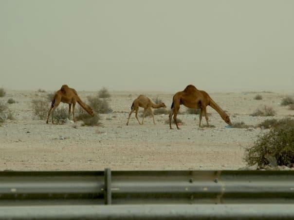 Camels in Qatar in desert