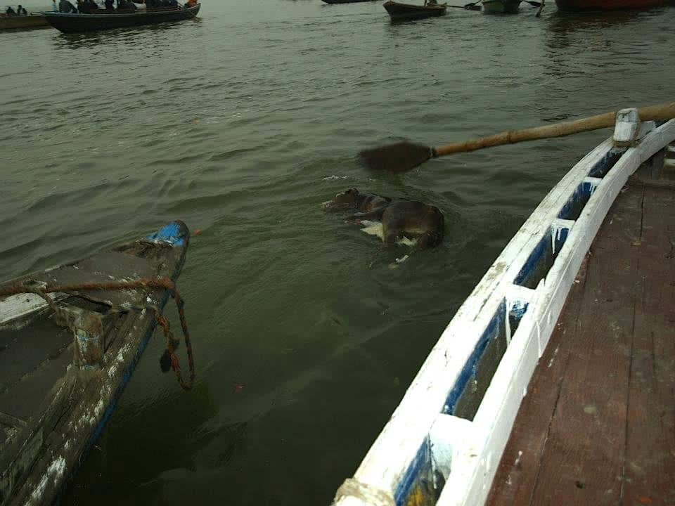 Dead animals in the ganges river
