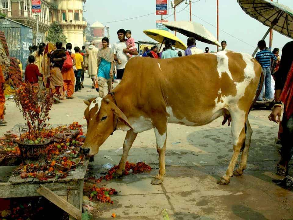 Cow is eating on the street