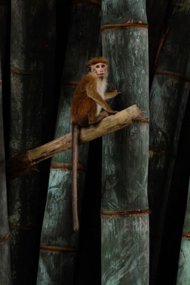A monkey in a coconut tree in The Plantation Villa Resort in Sri Lanka