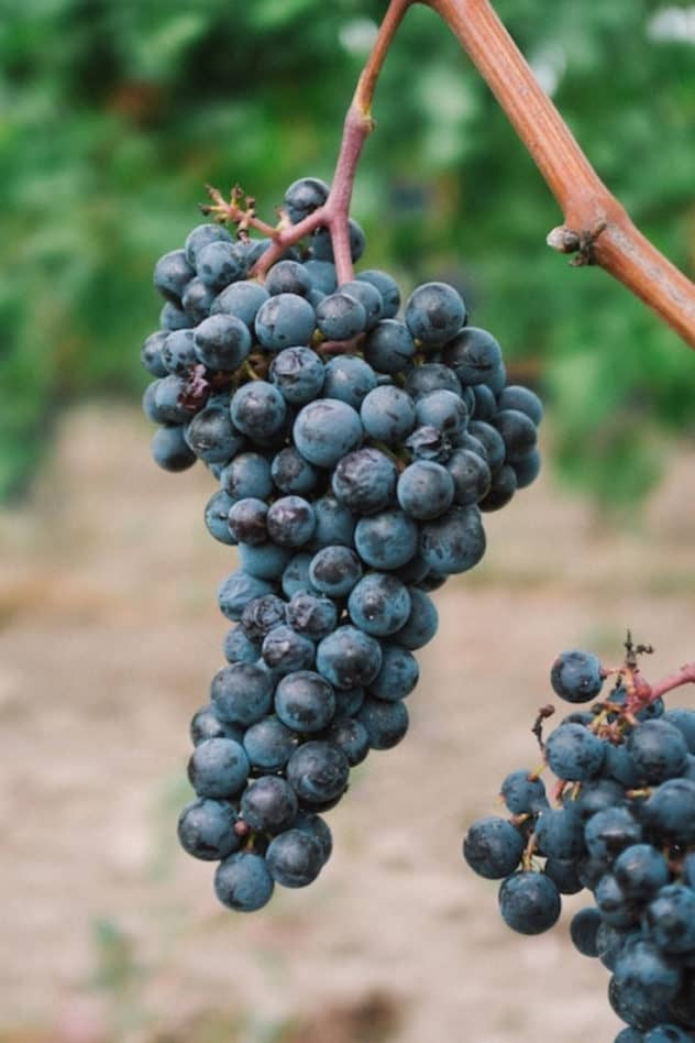 Grapes in sain emilion village